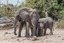 Elephants At The Chobe Riverfr...