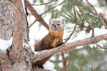 Pine Marten On A Snow Covered ...