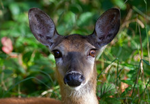 White-tailed Deer Standing On ...