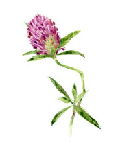 Red Clover. Watercolor Field F...