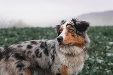 Dog Australian Shepherd Runnin...