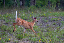 White-tailed Deer Fawn Running...