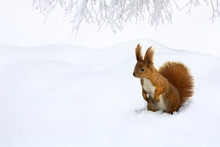 Cute Red Squirrel In Snow In O...