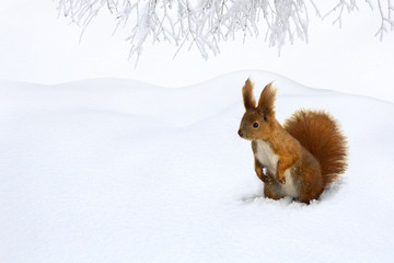 Cute red squirrel in snow in of fir forest with space for text. Winter landscape