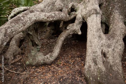 Valokuvatapetti Twisted and gnarly tree roots