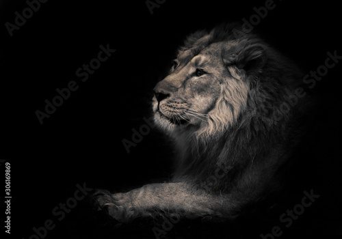Fototapety, obrazy: lunar beast (ashen).Calm and confident profile view. powerful male lion with a chic mane impressively lies.