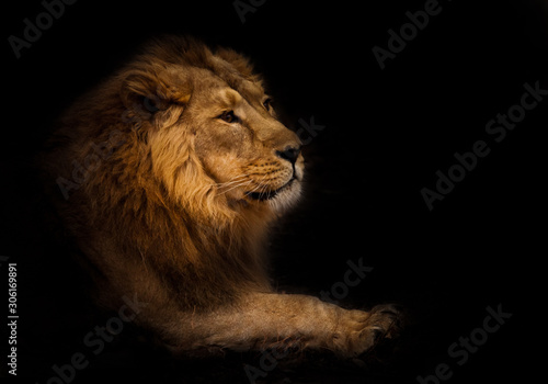 Fototapety, obrazy: calmness. Calm and confident profile view. powerful male lion with a chic mane impressively lies.