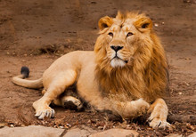 Powerful Male Lion With A Chic...