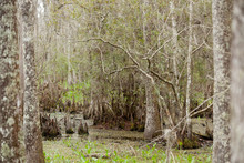 Swamp With Cypress Trees And K...