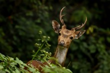 Single Male Spotted Deer