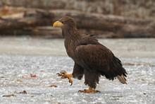 Beautiful Large Eagle On The I...