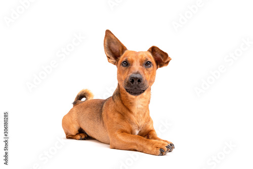 Fotomural Small brown dog sitting on the floor isolated on white background
