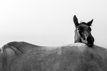 Two Horses, Black And White Ho...