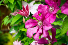 Blooming Pink Clematis In The ...