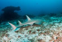 Guitar Shark At Koh Bon Island, Thailand