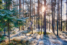 Snow In A Pine Forest On A Sun...