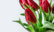 Red tulips on a white background close-up. Copy space. Selective focus.