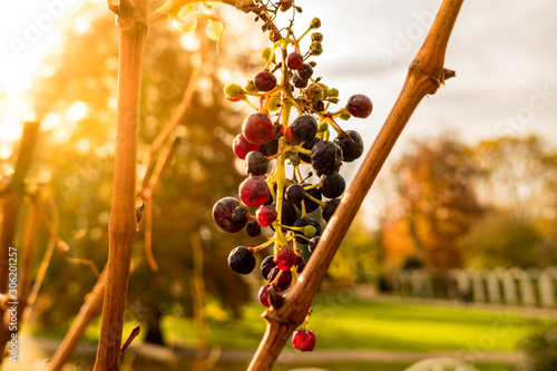 Fotomural  last withered grape in the autumn sun