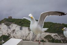 Seagull Stood On Seaside Barrier Ready To Fly Away In Dover Ferry Terminal On A Large Ship Vessel Boat In Front Of The White Cliffs Wings Spread Wildlife Yellow Beak British.