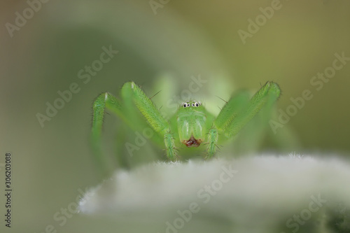 Green Huntsman Spider - Micrommata virescens Wallpaper Mural