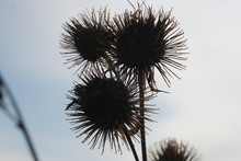 Prickly Seed Burdock Silhouette