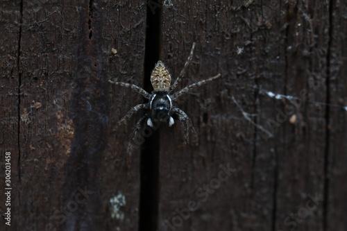 Photo Jumping Spider - Menemerus semilimbatus