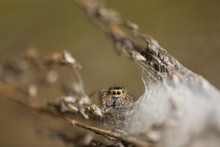 Jumping Spider - Mogrus Neglec...