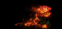 A Burning Rose With Waterdrops