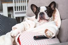 French Bulldog In Bathrobe Wat...