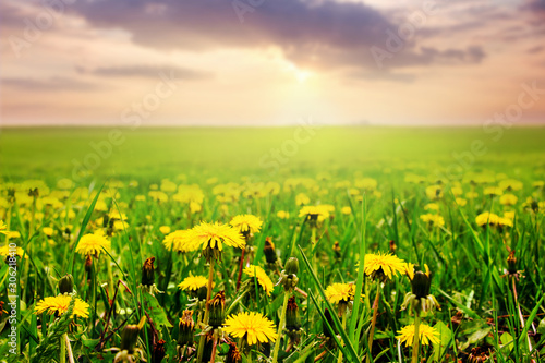Foto auf Leinwand Gelb Green field with yellow dandelions and picturesque sky at sunset_