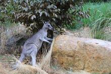 Portrait Of Macropus Giganteus Huge Grey Kangaroo Sitting In Dry Grass In Grampians National Park, Victoria, NSW, Down Under, Australia
