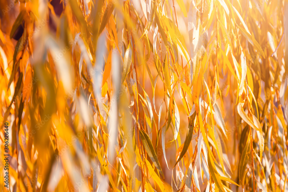 Fototapeta Orange willow tree leaves in autumn