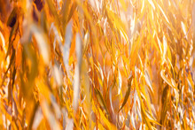Orange Willow Tree Leaves In A...