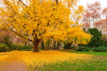 Gingko Tree During Autumn Just Before Losing Leaves - Leaf Peeping. Autumn In  City Of Zagreb, Croatia