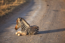 Young Zebra On Street