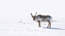 Young Male Reindeer On The Sno...