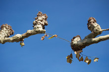 Joining The Branches Of Two Plane Trees Against The Blue Sky In A Small Town In France