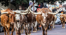 Texas Longhorns At Fort Worth Stockyard Station
