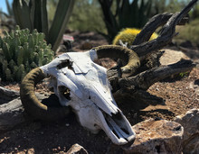 Bull Skull With Horns Laying O...