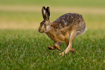 hare is running in the beautiful light on green grassland,european wildlife, wild animal in the nature habitat, , lepus europaeus.
