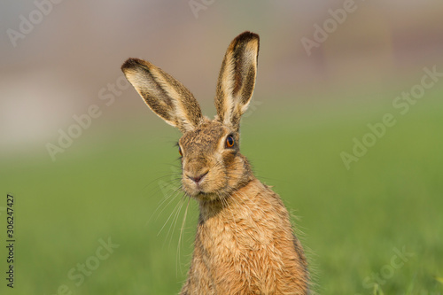 Fototapeta European brown hare (Lepus europaeus)