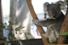 Cute Cuddly Koala Bears In Gumtree In Queensland, Australia