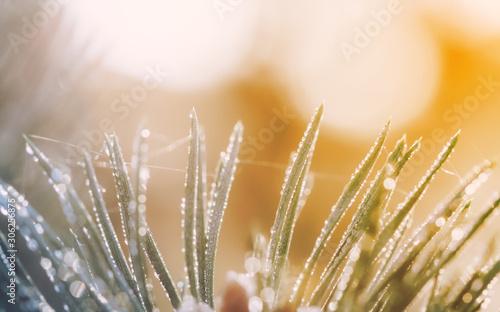 Valokuvatapetti pine tree branch