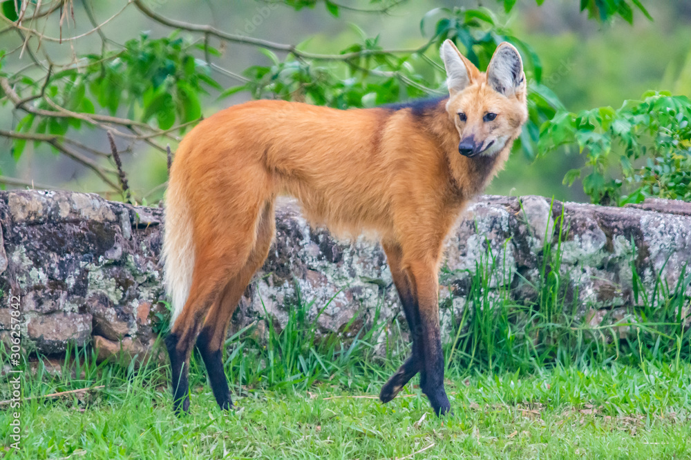 Fototapeta maned wolf walking
