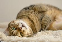Lazy Cat Lying On The Carpet