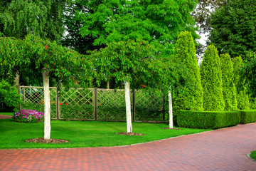 Garden with growing whitewashed trees in the background a rose garden with rose bushes and thuja hedge, a park with greenery on a summer day.