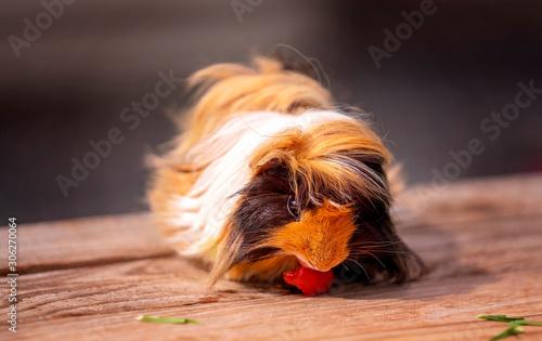 Fototapety, obrazy: Close Up Of A Cute Guinea Pig