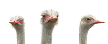 Three Ostriches Are Isolated O...