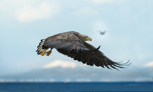 Juvenile White-tailed Eagle In Flight. Blue Sky And Ocean Background. Scientific Name: Haliaeetus Albicilla, Also Known As The Ern, Erne, Gray Eagle, Eurasian Sea Eagle And White-tailed Sea-eagle.
