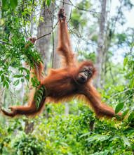 Young Male Of Bornean Oranguta...